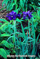 63821-035.15 Siberian Iris (Iris sibirica Ruffled Velvet)    IL