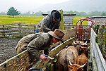 Chris doctoring cattle in the chutes. Cattle roundup at the  Pasagshak Ranch on Kodiak Island,  Southwest Alaska