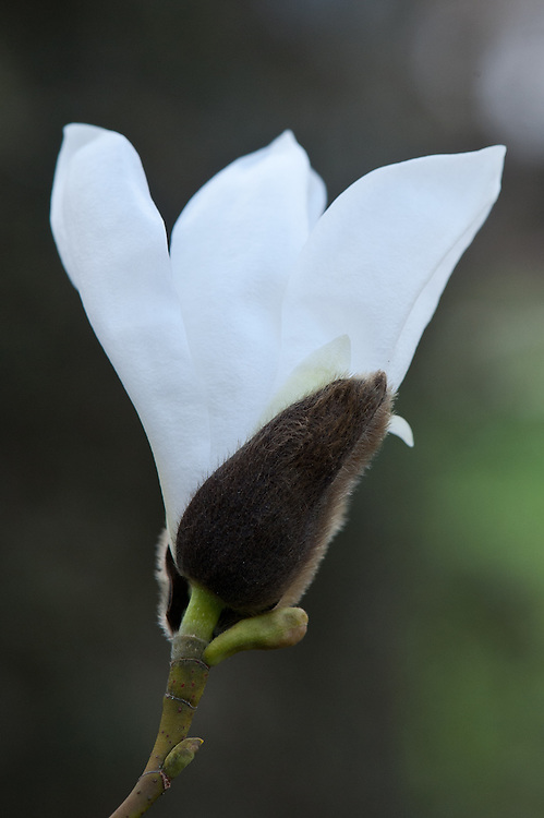 Willow-leaved magnolia (Magnolia salicifolia 'Jermyns'), late March.