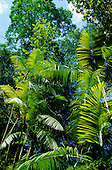 Amazon, Brazil. Young green leaves of the palmito palm in a sunny clearing in the forest.
