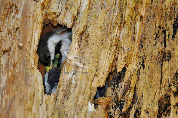 Chestnut-backed Chickadee (Poecile rufescens) feeding young in nest cavity in old snag in old growth forest in Olympic National Park rain forest, WA.  June.