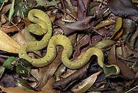 Green Palm Viper; Botriechis; Costa Rica