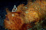 Mated pair Striated Frogfish, Hairy Frogfish, Antennarius striatus, Anilao Philippines