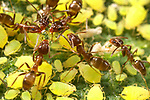 Ant harvesting honeydew from aphids