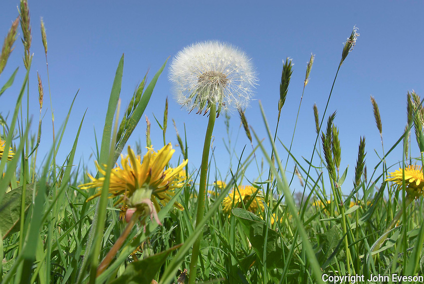 Dandelions ( Taraxacum vulgare) in grass field, Chipping, Lancashire.