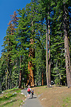 Family walking along the paved asphalt hiking Congress Trail, Giant Forest, Sequoia NP, California