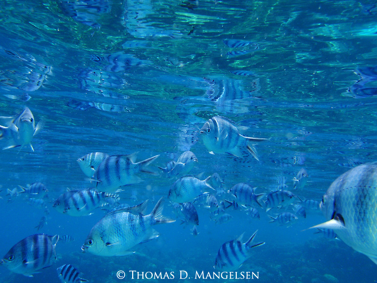Scissortail sergeant fish swim in the clear blue water off of Rangiroa, Tuamotus in French Polynesia.