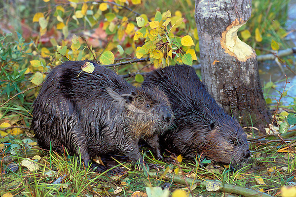 North American Beavers (Castor canadensis) by aspen tree they are cutting down.  Minn.  Fall.