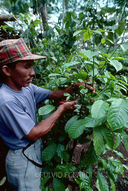 Indonesia, east, Java, Jember, research, institute, coffee, coffea, robusta, variety, conillon, plantation, plant, grow, organic, graft, worker, man