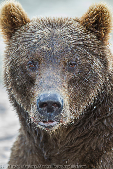 Brown bear portrait, Katmai National Park, southwest, Alaska.