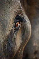 Close-up of Asian Elephant eye, Thai Elephant Conservation Center, Lampang, Thailand. (Elephas maximus)