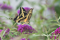 03017-01420 Giant Swallowtail (Papilio cresphontes) on Butterfly Bush (Buddleja davidii) Marion Co. IL