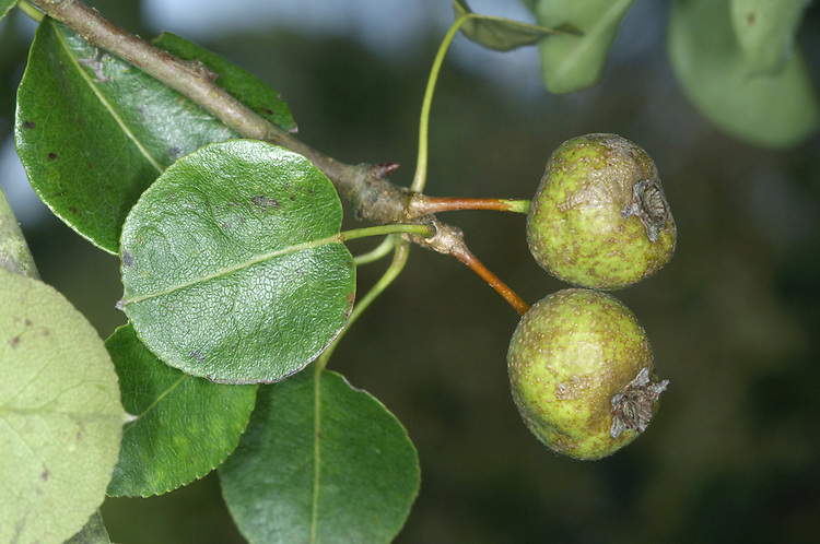 Wild Pear Pyrus pyraster Rosaceae Height to 15m <br /> Deciduous spreading shrub or small tree. Bark Grey-brown, breaking into square plates. Branches Spreading and spiny; twigs smooth and greyish brown. Leaves To 7cm long, elliptical with toothed margin. Reproductive parts Flowers white, 5-petalled, long-stalked; produced in quantity. Fruits rounded, hard, to 3.5cm across, yellowish brown. Status Local native.