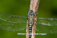 06370-001.10 Swamp Darner (Epiaeschna heros) male perched on branch, Clay Co.  IL