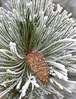 Pine tree with hoar frost. Wilsonville. Oregon