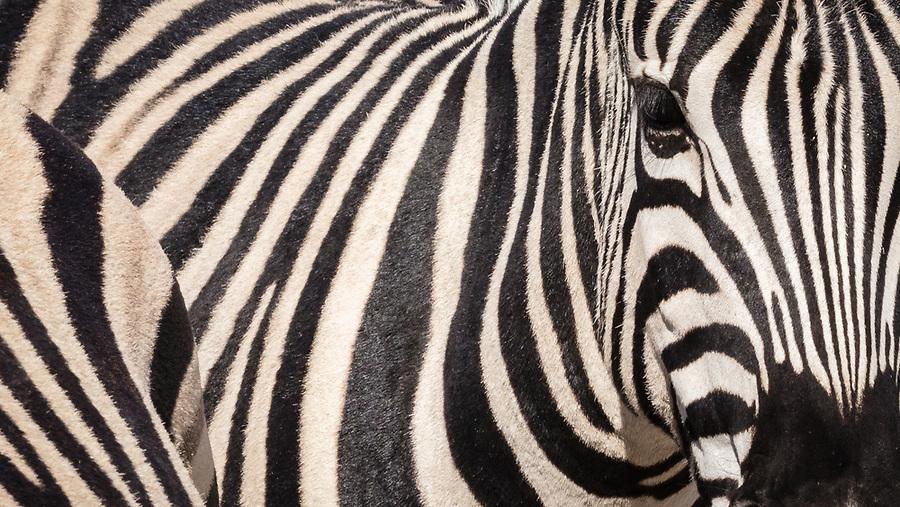Zebra Detail.