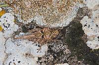 Eingedrückte Dornschrecke, Weibchen, Uvarovitettix depressus, Depressotetrix depressa, Tettix depressus, Tettix depressa, Tetrix depressus, Ground-hopper, Groundhopper, female, Le Tétrix déprimé, Dornschrecken, Tetrigidae. Frankreich, France.