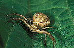 Common Crab Spider, Xysticus cristatus, male. .United Kingdom....