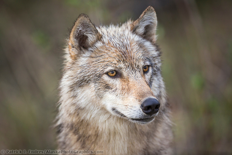 Gray wolf, Denali National Park, Interior, Alaska.