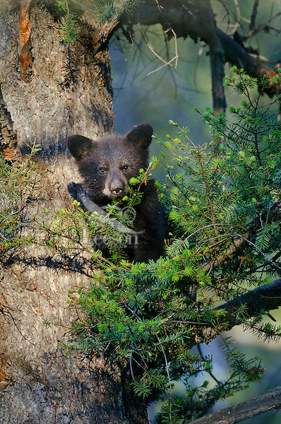 "Wild Black Bear (Ursus americanus) cub resting safely in tree while mom feeds on the ground nearby.  Western U.S., spring. (This is what is known as a ""coy""--cub of the year.)"