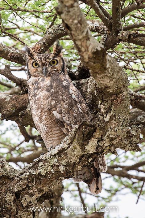 Adult spotted eagle-owl (Bubo africanus) in Acacia woodland. Ndutu, Ngorongoro Conservation Area, Tanzania.