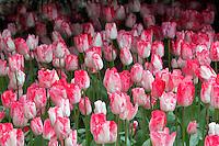 Garden Rhapsody Tulip. Roozengaarde gardens. Mt. Vernon. Washington