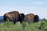 MA31-053z  American Bison - buffalo - Bison bison