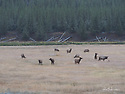 October 8 thru October 21, 2017 / Cross country Trip to Yellowstone National Park in Yellowstone, Wyoming.  Female Elk graze along the side of the road inside the park.  Stops in Laramie, Jackson, Yellowstone with travels thru Pennsylvania, Ohio, Indiana, South Dakota, Wyoming, Montana, North Dakota, Missouri, Minnosota, and Illanois.