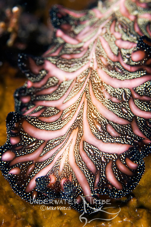 Flatworm, Pseudobiceros bedfordi, Yap, Micronesia, Pacific Ocean