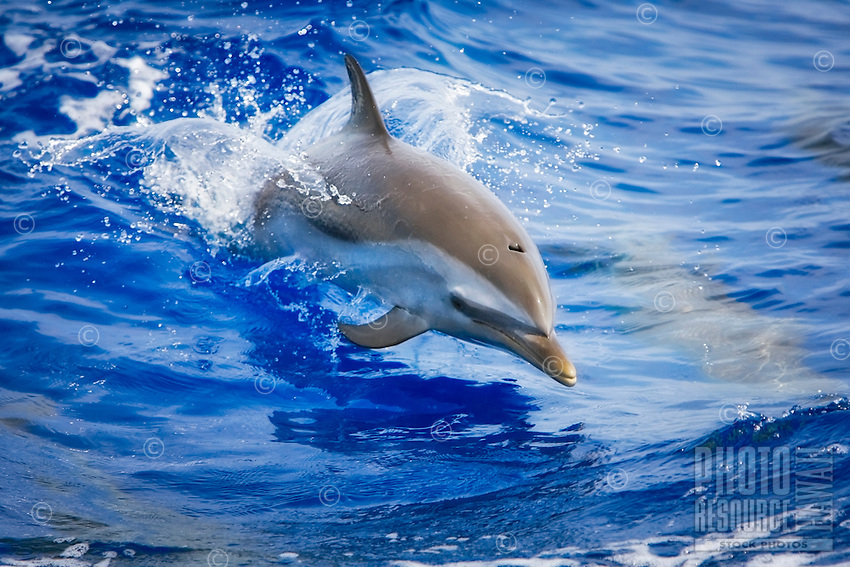 A baby pantropical spotted dolphin (Stenella attenuata) jumping near the Kona Coast, Big Island