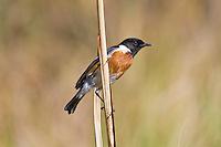 Stonechat, Royal Natal Park, SA