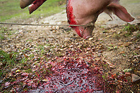 ENG : Butchering a Pig homemade in traditional and ritual italian culture. This ritual is a very violence for the pig and in Italy is border line for legality. Killing the pig in private form is not allowed by the laws, but tradition is more strongest than the law, and in secret families continue to kill the pig In the photo a farm preparing to kill a pig Teramo December 07 2013. Photo credit Adamo Di Loreto/BuenaVista*photo<br /> <br /> ITA : In Italia si continua a fare, come da tradizione e retaggio popolare, la macellazione a domicilio del maiale con lo scopo di  preparare le conserve da usufruire tutto l'anno. Attualmente tale pratico con il classico &quot;scannaturo&quot; &egrave; illegale se prima il maiale non viene storidito con apposite attrezzature, Teramo 07/12/2013. In foto in una piccola fattoria abruzzese si prepara per la macellazione del maiale. Foto di Adamo Di Loreto/BuenaVista*photo