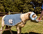 July 31, 2017. Chapel Hill, North Carolina.<br /> <br /> Ginger Holler feeds Rameses the Ram. <br /> <br /> Holler is the wife of Don Basnight, one of the members of the Hogan family who have long been the caretakers of Rameses the Ram. The current Rameses is the 21st in the line of the University of North Carolina's live mascot.