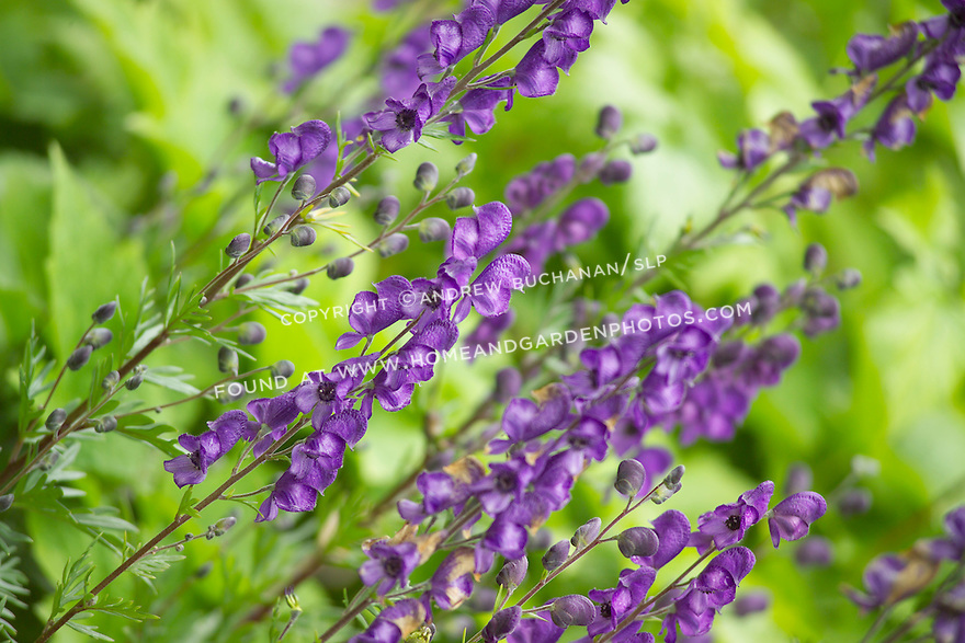 Shallow focus detail of multiple brilliant purple Monkshood (g. Aconitum) flower stalks against a vibrant green background in a garden setting.
