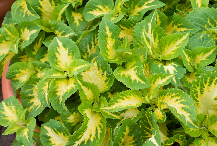 (Solenostemon) Coleus 'Versa Green Halo' variegated annual foliage plant