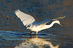 Cattle Egret wading for food in shallow river,Estepona, Andalucia, Spain
