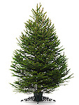 Undecorated bare real Christmas tree on a stand. Isolated on white background.