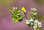 American Goldfinch (Carduelis tristis) male in breeding plumage, singing while perched amid apple blossom in spring, Freeville, New York, USA.