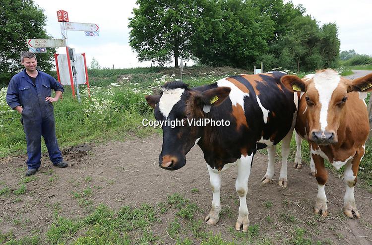 Foto: VidiPhoto<br /> <br /> GASSEL - Bij melkveehouderij Van Raaij in het Brabantse Gassel trekt een wel heel bijzondere jonge koe, een zogenoemde pink, de aandacht van voorbijgangers. De anderhalf jaar oude Toos55 telt geen twee -zoals gebruikelijk- maar drie kleuren. Het is een lapjeskoe, waarvan er maar een paar in Nederland bestaan. Bovendien is de jonge dame volgens een van de eigenaren, Krijn van Raaij, ook nog eens voor het eerst dragend (zwanger). De melkveehouder heeft kleurrijke natuurfenomeen nog niet eerder meegemaakt op zijn bedrijf. Wel veranderde een jong stierkalfje van roodbont, ooit in zwartbont. Toos55 heeft een roodbonte vader en een zwartbonte moeder, maar normaal gesproken wordt het kalf dan roodbont of zwartbont, maar niet tricolor. De boer zelf heeft er nooit aan gedacht om de lapjeskoe in de publiciteit te brengen. Dat is nu gebeurd doordat de pink zichtbaar werd voor het publiek, nadat de eigenaar van het terrein -Brabants Landschap- de hoge heg rond het natuurterrein fors snoeide. Het melkveebedrijf van Van Raaij bezit zo'n 100 melkkoeien.