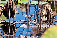Baillon's Crake, Mareeba Wetlands, Queensland, Australia