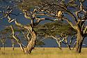 African Lioness (Panthera leo) using Umbrella Acacia Tree (Acacia tortillis) as a lookout. Nogorongoro Conservation Area / Serengeti National Park, Tanzania.