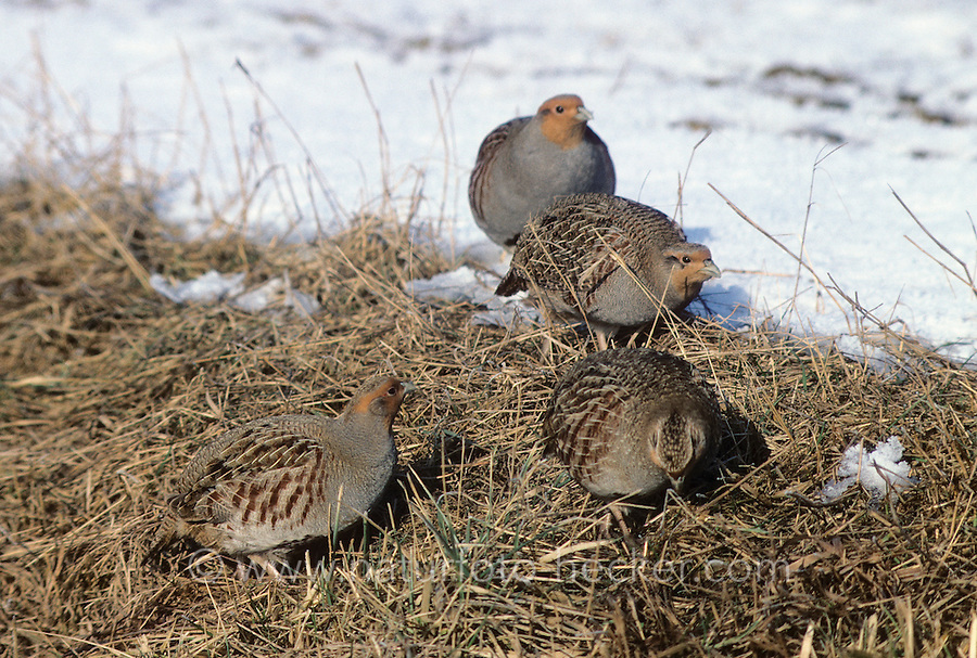 Rebhuhn, Trupp im Winter auf Acker, Feld, Perdix perdix, grey partridge