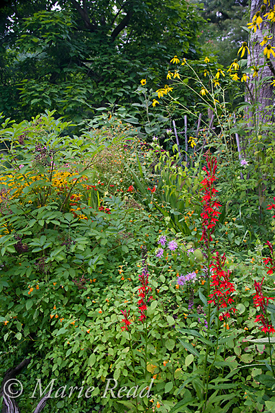 Native flowering plants for wildlife, including Cardinal Flower, Wild Bergamot, Green-headed (=Tall) Coneflower, Jewelweed, Elder, New York, USA