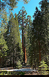 General Grant Tree, Giant Sequoia, Sequoiadendron giganteum, Grant Grove in Spring, King's Canyon National Park