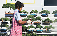 ((SUBJECT WOULD ONLY GIVE ME HER FIRST NAME. LANGUAGE BARRIER PROVED INSURMOUNTABLE))<br /><br />NWA Democrat-Gazette/J.T. WAMPLER  Nana sets up her bonsai display Wednesday June 6, 2018 at the corner of Huntsville Rd. and Stone Bridge Rd in Fayetteville. Nana's bone trees are junipers and she plans on setting up at the same location today ((THURSDAY)).