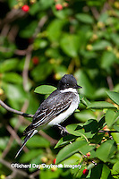 01254-00918 Eastern Kingbird (Tyrannus tyrannus)  in Serviceberry bush (Amelanchier canadensis) Marion Co., IL