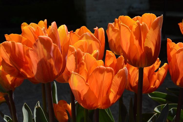 Tulipa 'Prinses Irene', early May. Photograph by Jenny Batty.