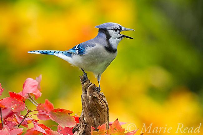 Blue Jay (Cyanocitta cristata) calling in autumn, New York, USA