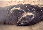 Shark wound scars on bull elephant seal