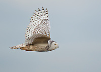 Snowy owl flying against a blue sky as it cruises the tidelands of Boundary Bay.<br /> Near Ladner, British Columbia, Canada<br /> 1/10/2012